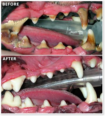 houston, tx pet dentists